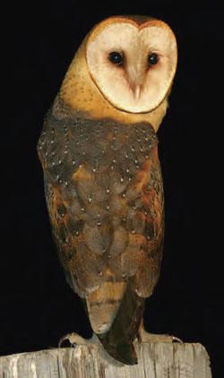 Mendocino Coast Audubon Society - Education - Barn Owl