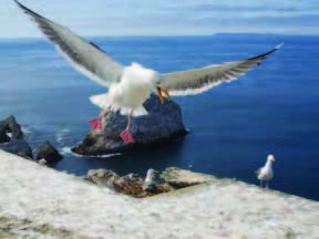 Mendocino Coast Audubon Society - Education - Western Gull